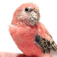 Bourkes-parakeets