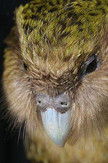 220px-New Zealand Kakapo Felix