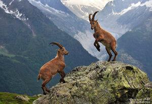 Alpa Ibex