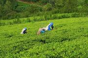 Tea Plantation Fields