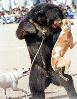 Bearbaiting