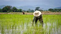 Hanzen Rice Farmer