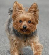 411093-yorkshire-terriers-yorkies-yorkie