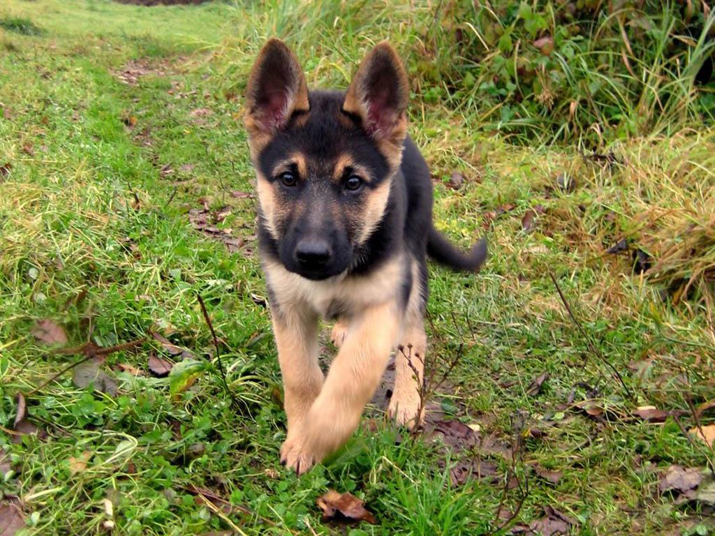 German Shepherd Puppy Hd Wallpapers Best Desktop Background Images Widescreen