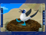 Blue-footed booby bird