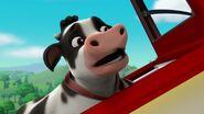 Cow 19