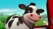 Cow 31