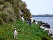 File:Yellow-eyed Penguins Auckland Islands.jpg