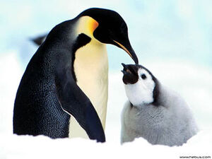 Penguin and its chick