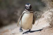 Magellanic penguin, Valdes Peninsula, e