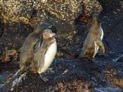 File:Galapagos Penguin (Spheniscus mendiculus) -3 on rock by sea.jpg