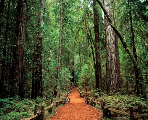 Armstrong Woods with redwood trees