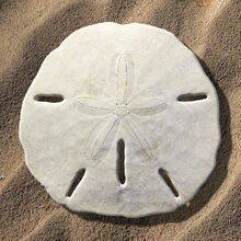 Sand-dolla