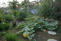 Terrace garden with fatty squash