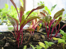 Chard Seedling