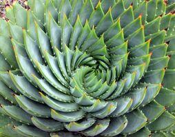 Aloe polyphylla spiral