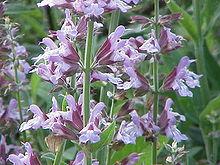 File:220px-Salvia officinalis0.jpg