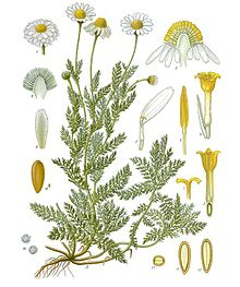 File:220px-Chamaemelum nobile - Köhler–s Medizinal-Pflanzen-012.jpg