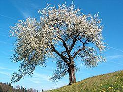 File:Prunus.jpg