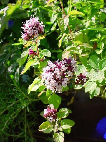 File:450px-ChristianBauer flowering oregano.jpg