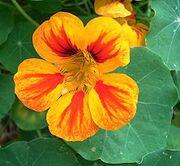 Latinçiçeği