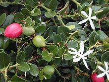 File:Natal plum.jpg