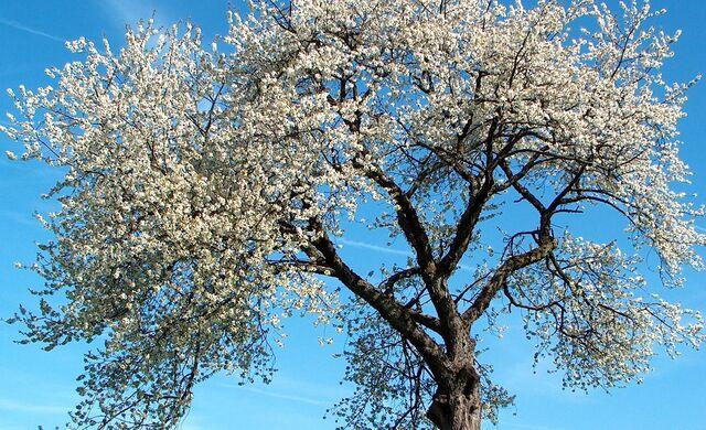 File:Prunusbuyuk2.jpg