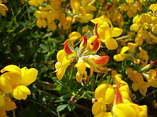 File:220px-Lotus corniculatus10.jpg