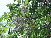 Tespih ağacı