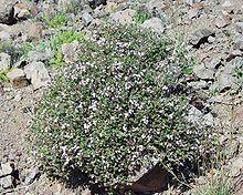 File:220px-Thymus vulgaris1.jpg