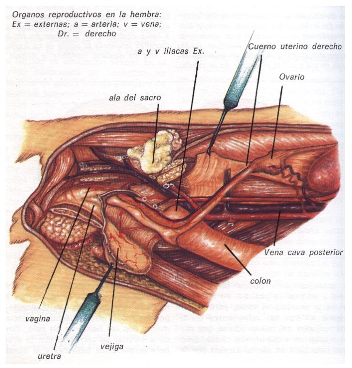 Imagen - Educación Reproducción (órganos femeninos).jpg | Wiki ...