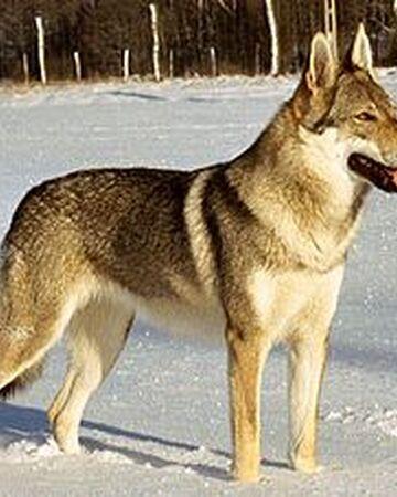 Perro Lobo Checoslovaco Wiki Perros Fandom