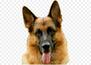 Пёс вики