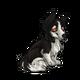 ChildShetland Sheepdog