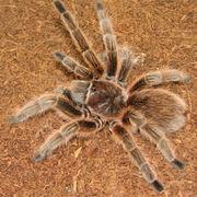 Chilean-rose-hair-tarantula