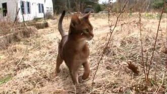 Cats 101 Animal Planet - Abyssinian ** High Quality **-0