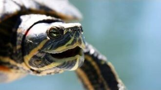 What's a Red-Eared Slider? Pet Turtles