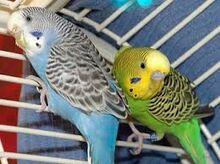 Parakeet-0