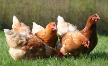 CARING-FOR-HENS-AND-FAQ-INTRO-PAGE-IMAGE