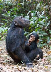 Gombe Stream NP Mutter und Kind