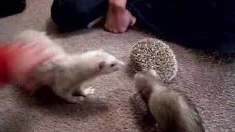 Hedgehog Dachshund & 2 Ferrets