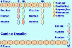 Canineinsulin8