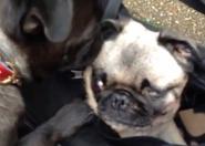 How Old Is Pewdiepie S Dog Maya