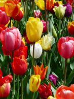 Tulip-47401 960 720-1-