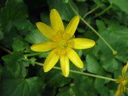 Ranunculus ficaria-1-