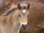 1024px-NF pony foal head-1-