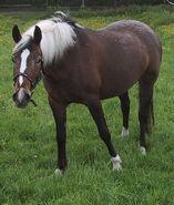 Appaloosa (Horse)-1-