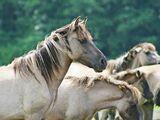Dülmener Wildpferd