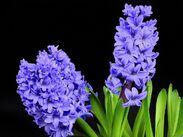 Hyacinth-2202861 960 720-1-