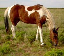 Am Paint Horse-1-